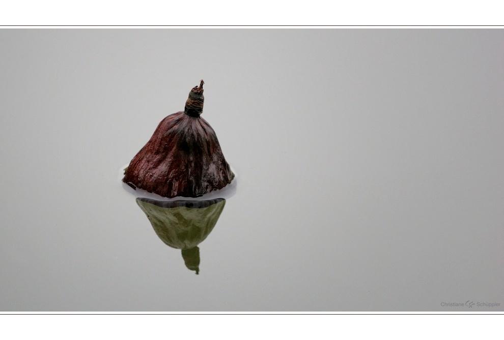Lotos im Herbst | 1 | Im See treibende Lotosfrucht