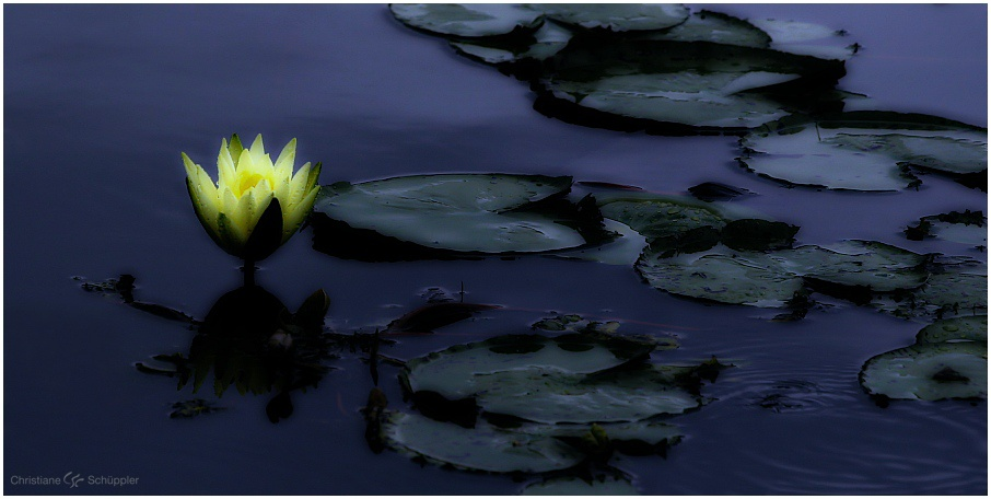Midnight water lily