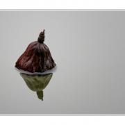 Lotos im Herbst   1   Im See treibende Lotosfrucht