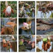 Lotos im Herbst | 2 | Verblühter Lotos im Herbst