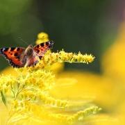 Sommernachmittag | Gelbexplosion mit Kleinem Fuchs