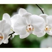 Weiße Schönheit, klassisch   Orchidee