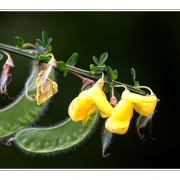 """Ginster, genauer Besenginster - Wenn man schon eine """"Namenspflanze"""" hat ..."""