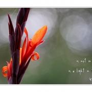 Beauty | Canna indica, indisches Blumenrohr