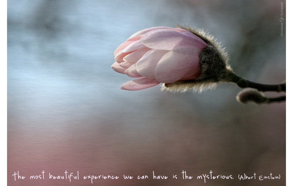 Magnolia | The most beautiful experience we can have is the mysterious.