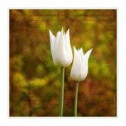 Weißes Tulpenpaar