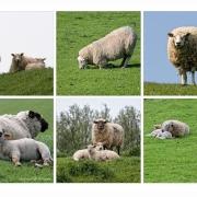 Von Schafen und Menschen | Gesichter .... :-)